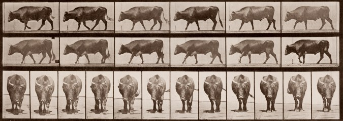 Sepia toned photograph with a grid of 12 panels showing an ox walking in profile, and another 12 showing an ox walking head on.