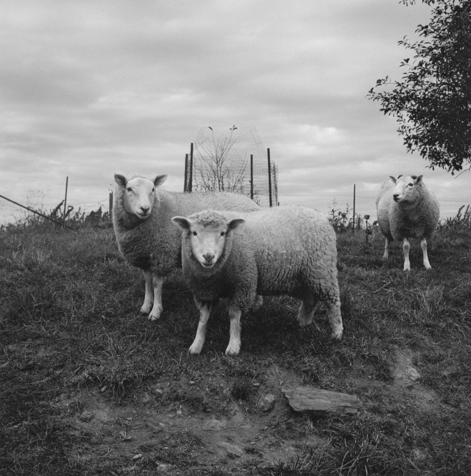 Black-and-white photograph of three sheep in a field.
