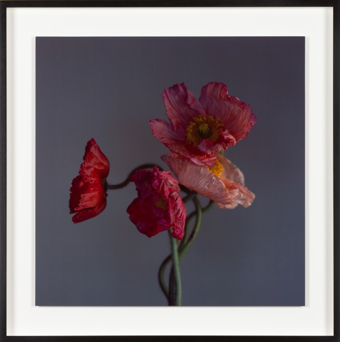 Square color photograph of red poppies.