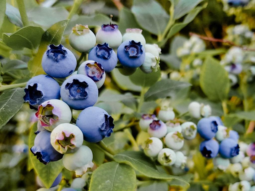 Blaubeeren im Garten pflanzen