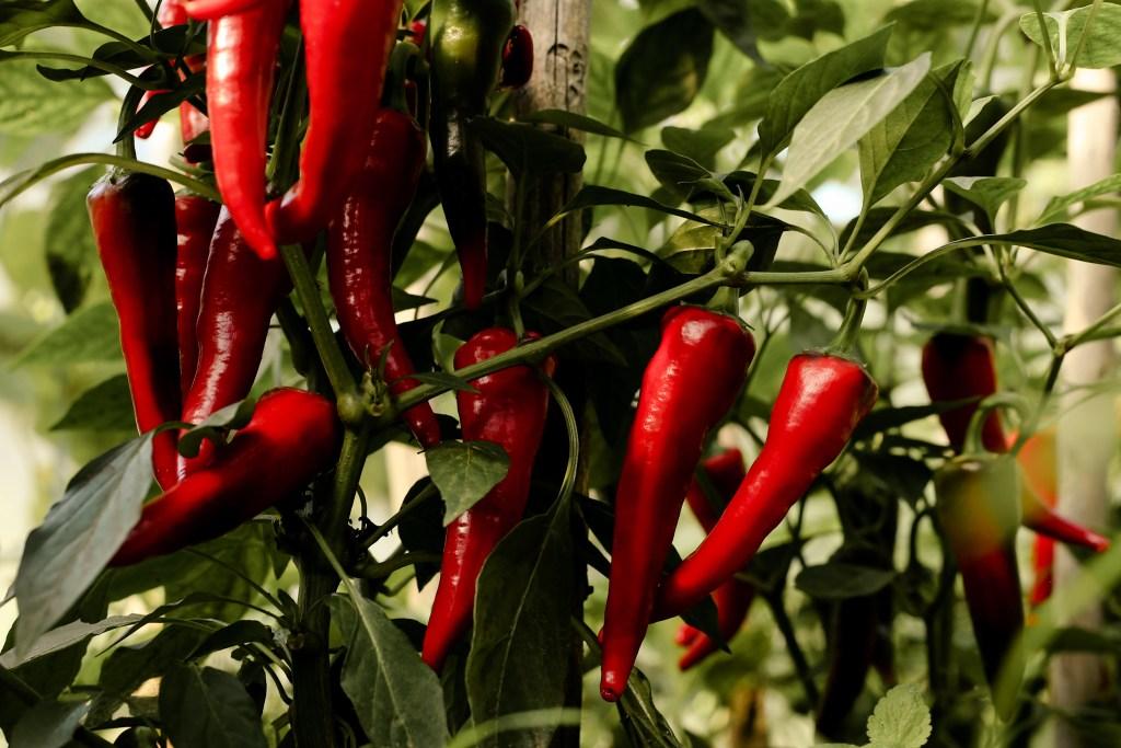 Chili im Garten