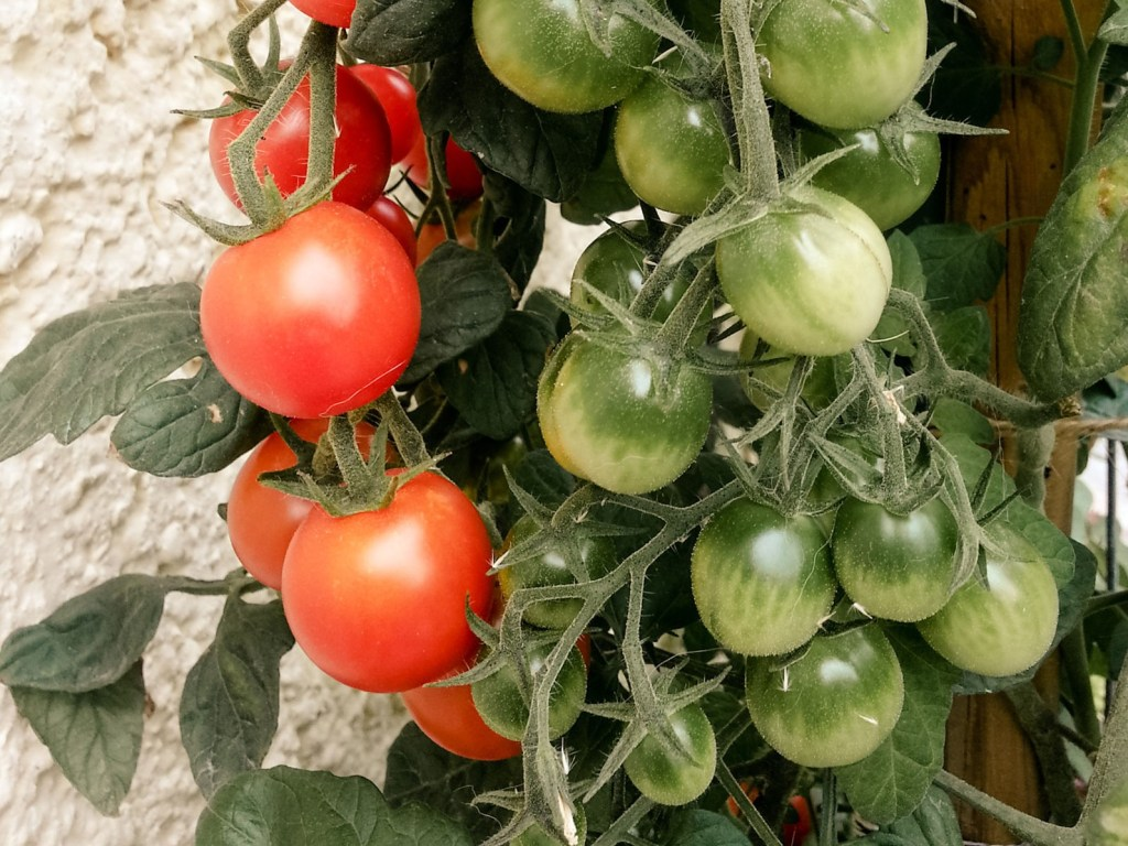Tomaten im Mai
