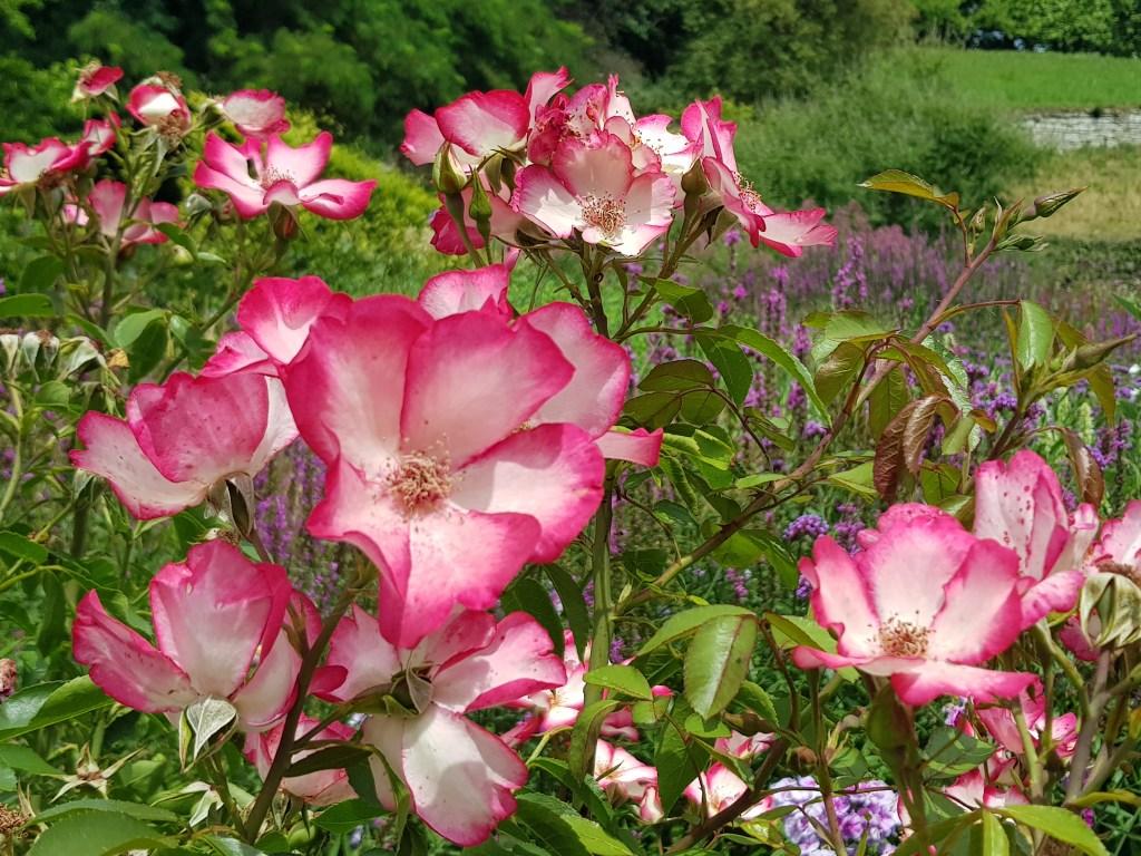 Wurzelnackte Rosen im November pflanzen