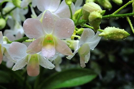 Dendrobium Memoria Princess Diana