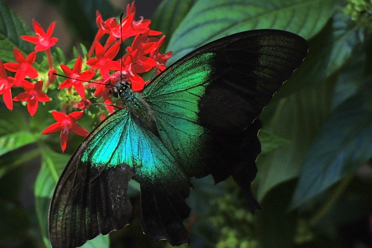 Singapur Sentosa Butterfly Park & Insect Kingdom 03