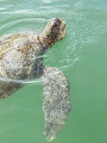 Cayman Turtle Centre-Farma żółwi Kajmany co zobaczyć atrakcje -007