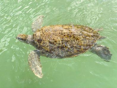 Cayman Turtle Centre-Farma żółwi Kajmany co zobaczyć atrakcje -008