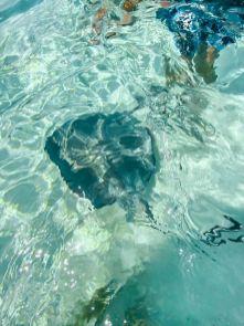 Kajmany atrakcje co warto zrobić Stingray City pływanie z płaszczkami na Kajmanach-005