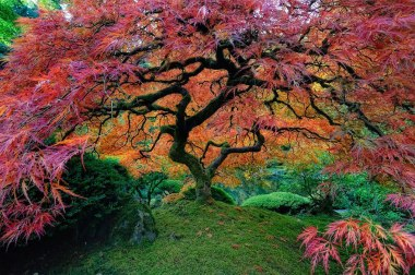 Japanese Maple, Oregon