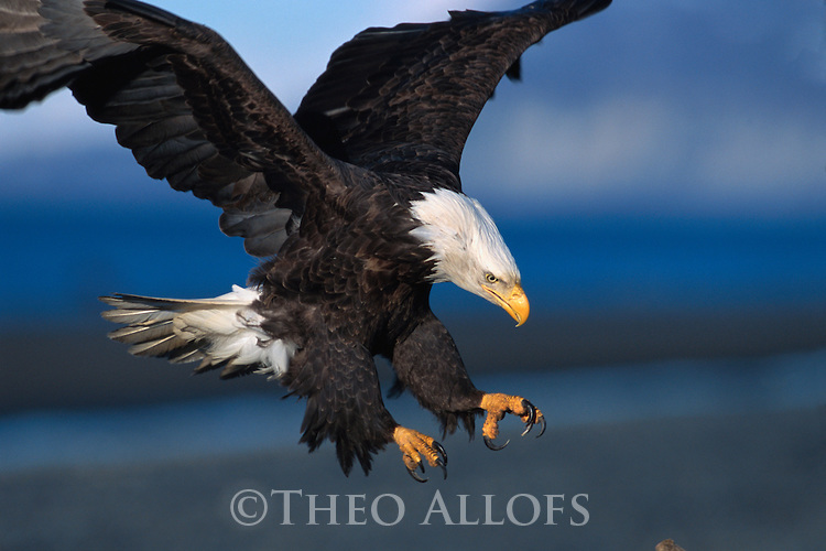 ca. 2001, Kenai Peninsula Borough, Alaska, USA --- Bald Eagle Landing --- Image by © Theo Allofs/CORBIS