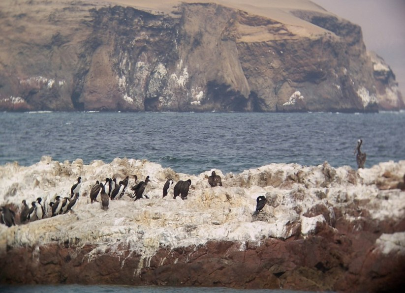Penguins on ocean rocks in Playa Lagunillas in Paracas National Reserve, Ica, Peru.