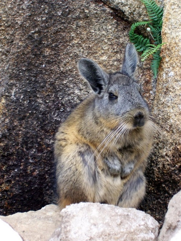 An image of a Chinchilla standing among the rocks at Machu Picchu in Urubamba Province, Peru.