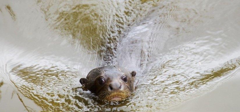 giant-otter