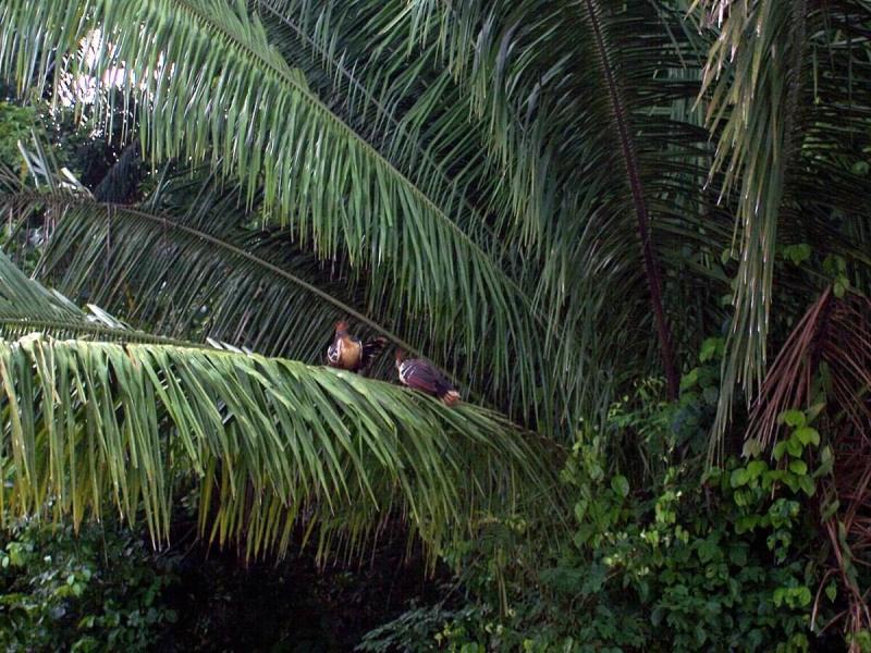 hoatzin birds on a tree at lake sandoval - peru