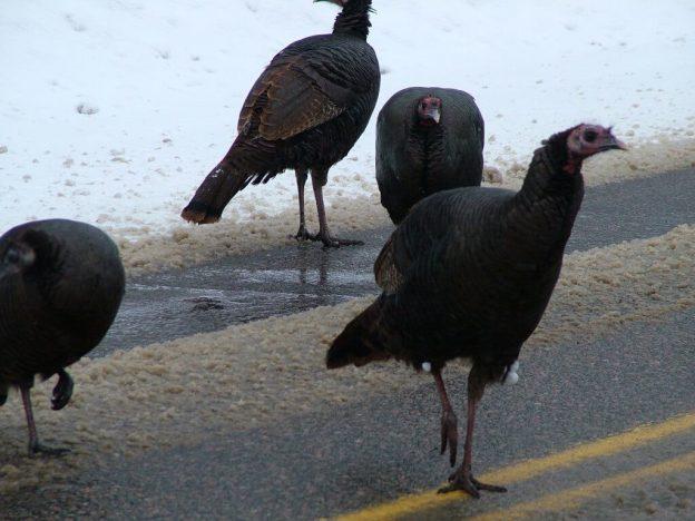 Group of Wild Turkeys in Ontario