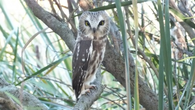 """""""Northern Saw Whet Owl"""""""
