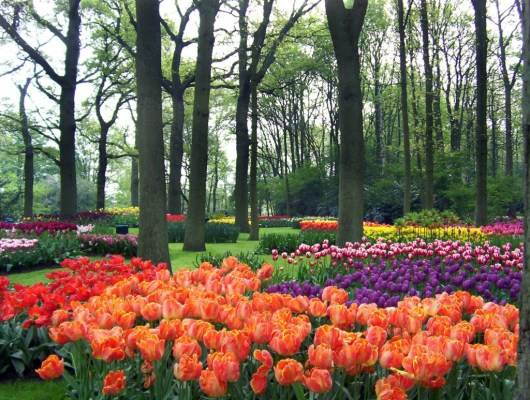 Panoramic view of Keukenhof tulip beds