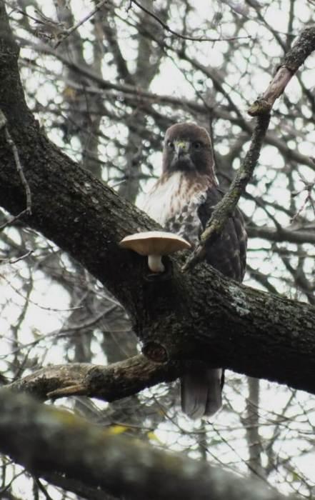 Redtailed-Hawk-sittin-in-Milne-Park-tree-Markham-Ontario