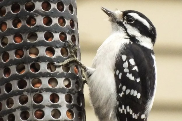 Downy Woodpecker gives us a look