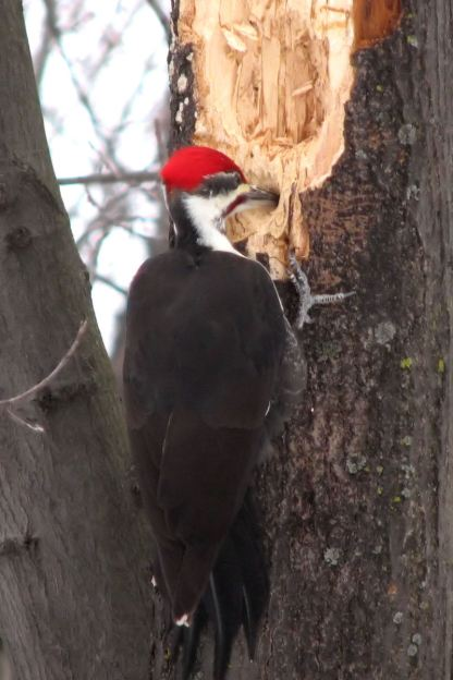 Pileated woodpecker works at getting lunch