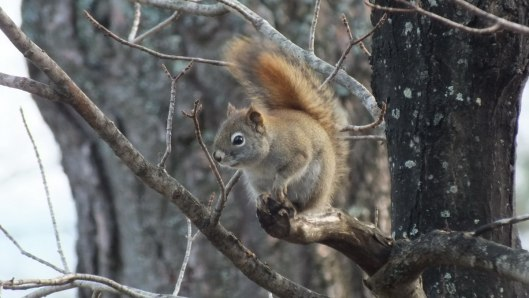 Red squirrel checks us out