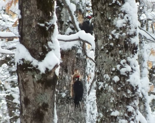 2 Pileated Woodpeckers in Algonquin Park - January 26 2013