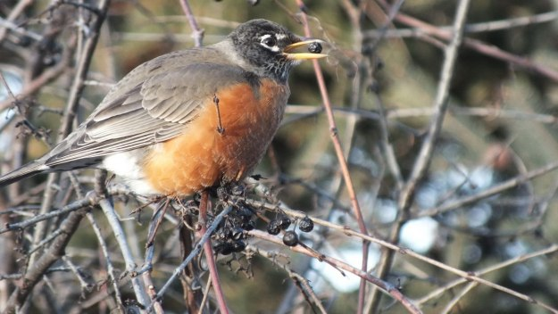 American Robin eats a berry at Thickson's Woods in Whitby, Ontario, Canada