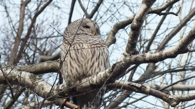 Barred Owl catches some rays - Thickson's Woods - Whitby - Ontario