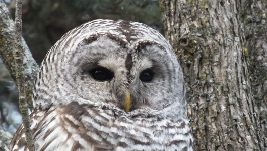 Barred Owl closeup of face