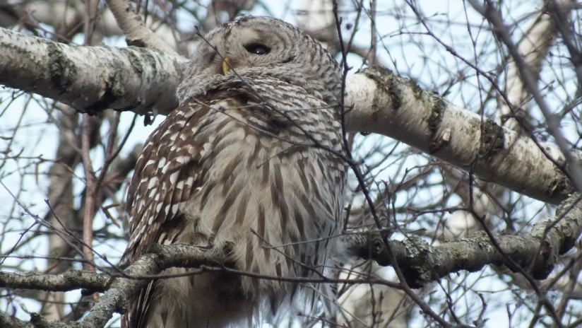 Barred Owl looks towards the sun - Thickson's Woods - Whitby - Ontario