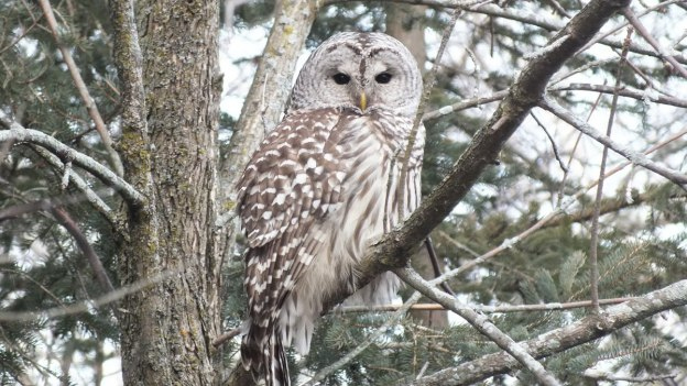 Barred Owl sits in limb - Thickson's Woods - Whitby - Ontario