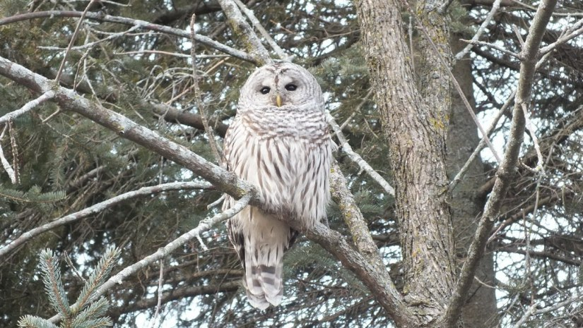 Barred Owl, Thickson's Woods, Whitby, Ontario