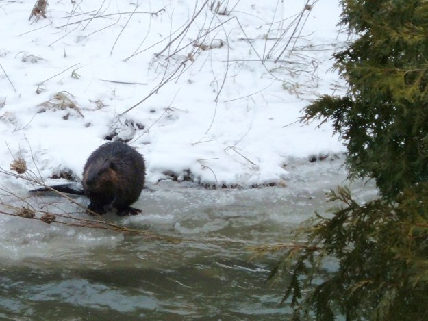 Beaver in winter - Green River - Pickering - Ontario