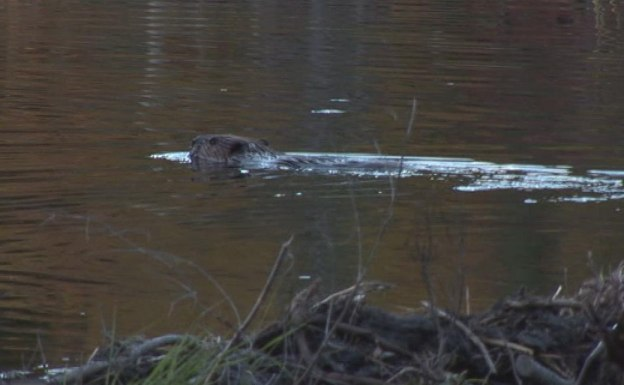 Beaver swims in Algonquin Park, Ontario