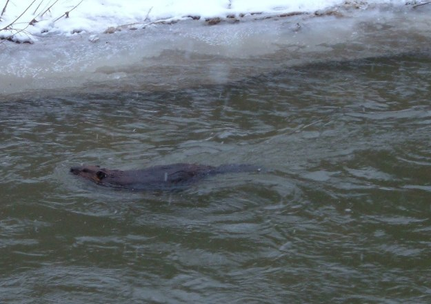 Beaver swims in falling snow on Green River - Pickering - Ontario