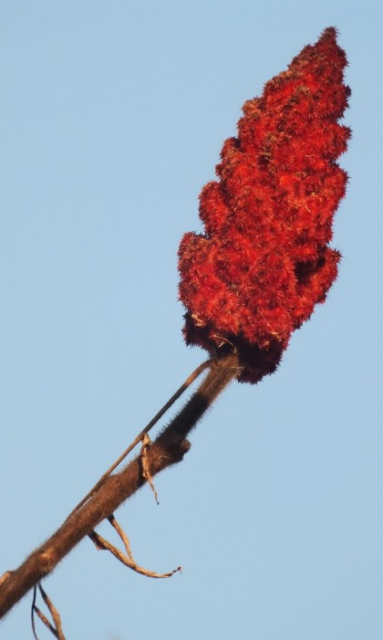 Blazing Sumac Spire - Lynde Shores Conservation Area, Whitby, Ontario