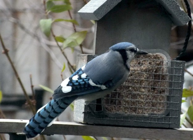 Blue Jay at feeder