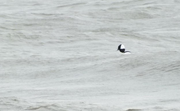 Bufflehead duck floating on waves, Lake Ontario