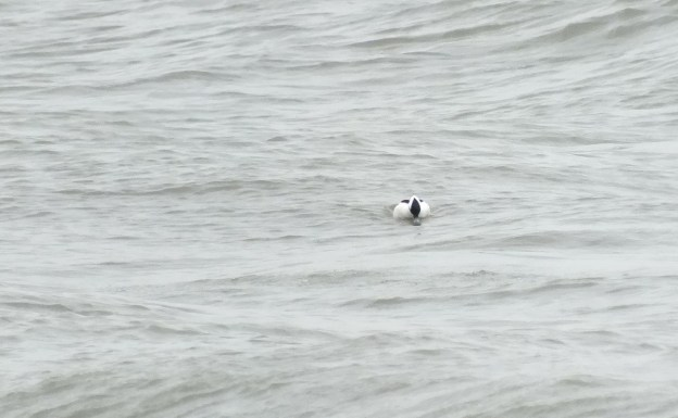 Bufflehead duck floats by, Lake Ontario