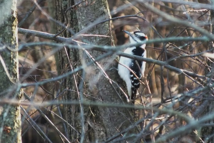 Hairy woodpecker, male 2- Lynde Shores Conservation Area, Whitby, Ontario