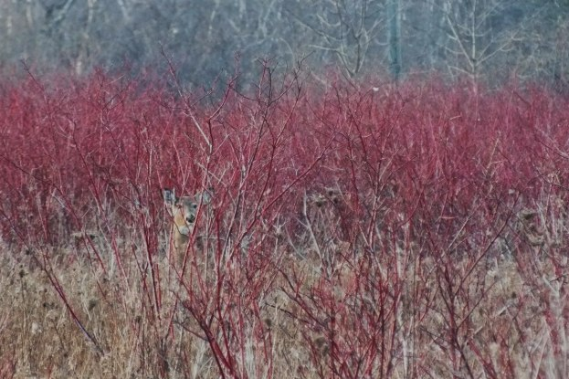 Lone deer - Lynde Shores Conservation Area, Whitby, Ontario