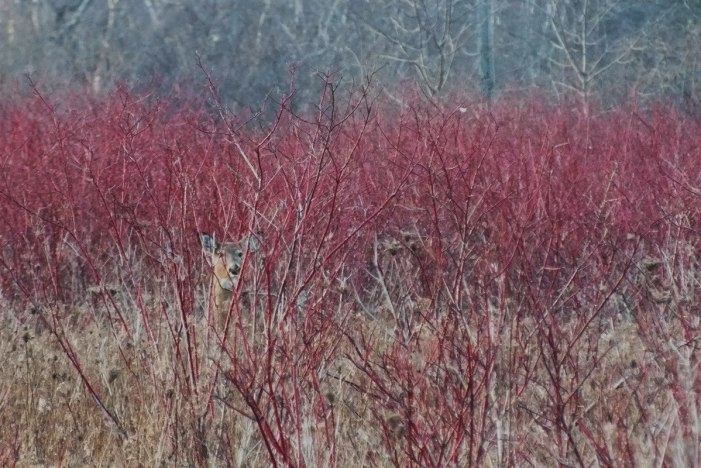 white-tailed deer - Lynde Shores Conservation Area, Whitby, Ontario