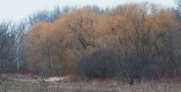 Mellow yellow weeping willow - Lynde Shores Conservation Area, Whitby, Ontario