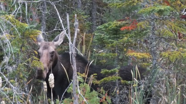 Moose in Algonquin Park gives us the eye
