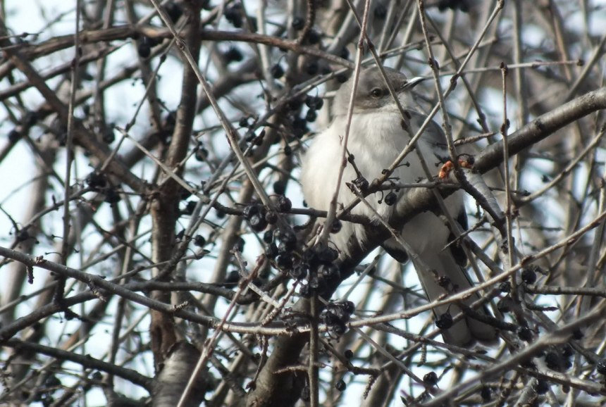 Northern Mockingbird beside berries in trees in Thickson's Woods in Whitby, Ontario, Canada
