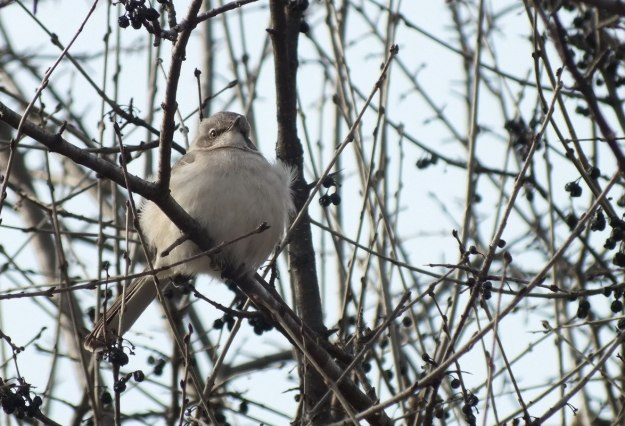 Northern Mockingbird sitting in a tree among berries at Thickson's Woods in Whitby, Ontario, Canada