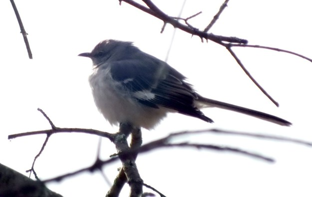 Northern Mockingbird sits on tree branch in Thickson's Woods, Whitby, Ontario, Canada