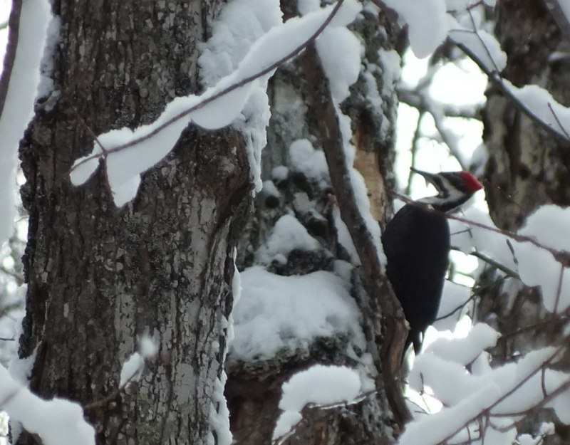 Pileated Woodpecker - female - pecking hole in tree, Algonquin Park - January 2013
