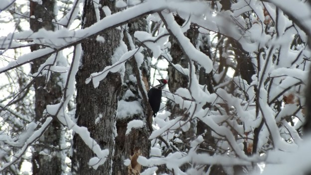 Pileated Woodpecker - female prepared to strike tree - Algonquin Park - Ontario - January 2013