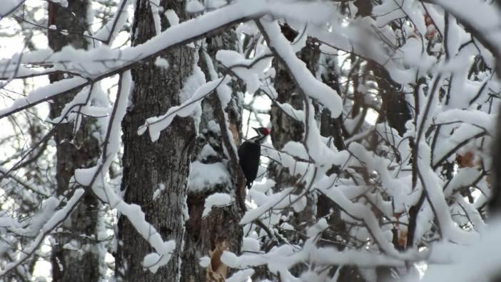Pileated Woodpecker - female prepared to strike tree - Algonquin Park - Ontario - January 2013